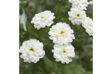 ACHILLEA PTARMICA BALLERINA SEEDS - PURE WHITE DOUBLE FLOWERS - 1000 SEEDS