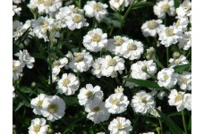 ACHILLEA PTARMICA PEARL PERENNIAL SEEDS - 250 SEEDS