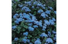 AGERATUM HOUSTONIANUM BLUE MINK SEEDS - 3000 SEEDS