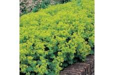 ALCHEMILLA MOLLIS THRILLER PERENNIAL PLUG PLANT (5CM PLUG) - PRICED INDIVIDUALLY
