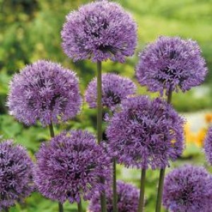 ALLIUM AFLATUNENSE HOLLANDICUM BULBS - PURPLE SENSATION PERENNIAL - PRICED INDIVIDUALLY