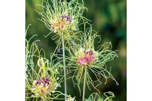 ALLIUM HAIR BULBS - GREEN AND PURPLE HAIR LIKE FLOWERS PERENNIAL UNUSUAL  - PRICED INDIVIDUALLY