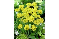 ALLIUM MOLY BULBS - STAR SHAPED BRILLIANT YELLOW EARLY SUMMER FLOWERING - PRICED INDIVIDUALLY