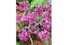 ALLIUM OREOPHILUM BULBS - PINK LILY LEEK - MOUNTAIN LOVER BULBS PERENNIAL - PRICED INDIVIDUALLY
