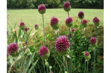 ALLIUM SPHAEROCEPHALON BULBS - DRUMSTICKS - PERENNIAL BULBS ROUND HEADED GARLIC  - PRICED INDIVIDUALLY