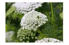 AMMI MAJUS BISHOPS FLOWER SEEDS - WHITE LACE FLOWER - 4000 SEEDS