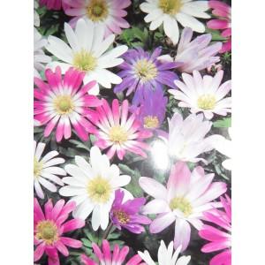 ANEMONE BLANDA BULBS / CORMS - MIXED COLOURS  - WINTER WILD FLOWER PERENNIAL - PRICED INDIVIDUALLY