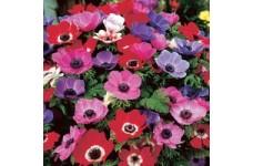 ANEMONE CORONARIA DE CAEN BULBS / CORMS - MIXED COLOURS  - WINTER WILD FLOWER PERENNIAL - PRICED INDIVIDUALLY