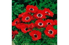 ANEMONE CORANARIA HOLLANDIA BULBS / CORMS - RED COLOUR BULBS - WINTER WILD FLOWER PERENNIAL  - PRICED INDIVIDUALLY