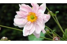 JAPANESE ANEMONE X HYBRIDA KONIGIN CHARLOTTE PERENNIAL 1 LITRE POTTED PLANT - PRICED INDIVIDUALLY