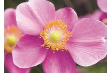 JAPANESE ANEMONE X HYBRIDA PINK SEPTEMBER CHARM PERENNIAL 1 LITRE POTTED PLANT - PRICED INDIVIDUALLY
