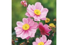 JAPANESE ANEMONE X HYBRIDA PINK SERENADE PERENNIAL 1 LITRE POTTED PLANT - PRICED INDIVIDUALLY