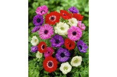 ANEMONE CORONARIA ST BRIGID BULBS / CORMS - MIXED COLOURS  - WINTER WILD FLOWER PERENNIAL - PRICED INDIVIDUALLY