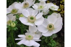 ANEMONE CORONARIA THE BRIDE BULBS / CORMS - WHITE COLOUR BULBS - WINTER WILD FLOWER PERENNIAL  - PRICED INDIVIDUALLY