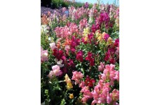 ANTIRRHINUM CHEERIO MIX SEEDS - MIXED COLOUR SNAPDRAGON SEEDS - 1500 SEEDS