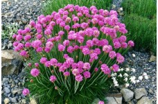 ARMERIA MARITIMA SEA THRIFT PINK PERENNIAL 1 LITRE POTTED PLANT - PRICED INDIVIDUALLY