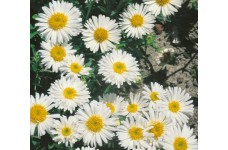 ASTER ALPINUS WHITE BEAUTY PERENNIAL 0.5L / 9CM POTTED PLANT - PRICED INDIVIDUALLY