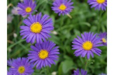 ASTER ALPINUS DARK BEAUTY DUNKLE SCHONE PERENNIAL 1 LITRE POTTED PLANT - PRICED INDIVIDUALLY