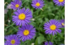 ASTER ALPINUS DARK BEAUTY DUNKLE SCHONE PERENNIAL PLUG PLANT (5CM PLUG) - PRICED INDIVIDUALLY