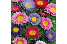 ASTER BARONESSE MIX SEEDS - VIBRANT MIXED COLOUR SEEDS - 200 SEEDS