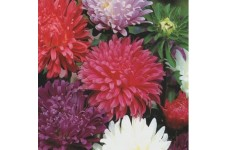 ASTER CAROUSEL MIXED COLOUR SEEDS - 200 SEEDS
