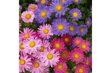 ASTER CHINA SINGLE MIX SEEDS - CALLISTEPHUS CHINENSIS MIXED COLOUR - 400 SEEDS