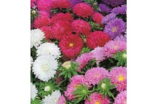 ASTER COLOUR CARPET MIXED COLOUR SEEDS - 300 SEEDS