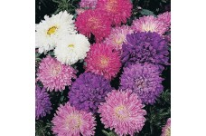 ASTER MILADY DWARF MIX SEEDS - CALLISTEPHUS CHINENSIS - MIXED COLOURS -  400 SEEDS