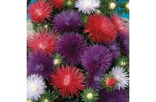 ASTER OSTERICH PLUME MIXED COLOUR SEEDS - 300 SEEDS