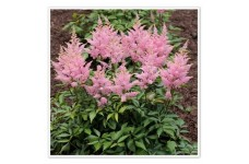 ASTILBE PINK FALSE GOATS BEARD SPIAREA PERENNIAL 1 LITRE POTTED PLANT - PRICED INDIVIDUALLY