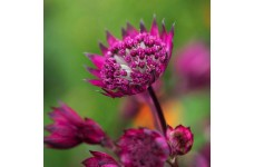 ASTRANTIA MAJOR BURGUNDY MANOR MASTERWORT PERENNIAL 1 LITRE POTTED PLANT - PRICED INDIVIDUALLY