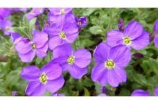 AUBRIETA BLUE CASCADING PERENNIAL PLUG PLANT (5CM PLUG) - PRICED INDIVIDUALLY