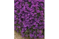 AUBRIETA PURPLE / VIOLET PERENNIAL MINI PLUG PLANT (1CM PLUG) - PRICED INDIVIDUALLY