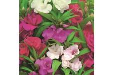 BALSAM DWARF BUSH FLOWERED MIX SEEDS - DOUBLE FLOWERS - 200 SEEDS