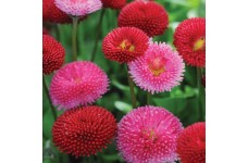BELLIS POMPONETTE MIX (RED, WHITE & PINK MIX) PERENNIAL SEEDS - 500 SEEDS