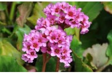 BERGENIA CORDIFOLIA PURPUREA ELEPHANTS EARS PINK PERENNIAL 1 LITRE POTTED PLANT - PRICED INDIVIDUALLY