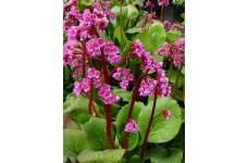 BERGENIA CORDIFOLIA WINTER GLOW PLUG PLANT (5CM PLUG) - PRICED INDIVIDUALLY