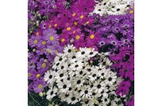 BRACHYSCOME IBERIDIFOLIA MIX SEEDS (SWAN RIVER DAISY / LITTLE MISSY) - 5000 SEEDS