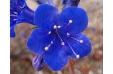 CALIFORNIA BLUEBELL - PHACELIA CAMPANULARIA - DESERT BLUEBELL - 1000 SEEDS