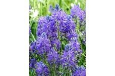CAMASSIA ESCULENTA QUAMASH BULBS  -BLUE SUMMER FLOWERING PERENNIAL  - PRICED INDIVIDUALLY