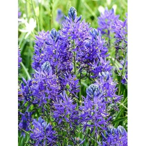 CAMASSIA ESCULENTA QUAMASH BULBS  -BLUE SUMMER FLOWERING PERENNIAL  - PRICED INDIVIDUALLY