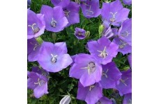 CAMPANULA CARPATICA DEEP BLUE PEARL BELLFLOWER 1 LITRE POTTED PLANT - PRICED INDIVIDUALLY