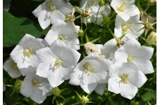 CAMPANULA CARPATICA ALBA - WHITE BELL FLOWER PERENNIAL 0.5L / 9CM POTTED PLANT - PRICED INDIVIDUALLY