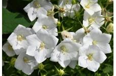 CAMPANULA CARPATICA ALBA - WHITE BELL FLOWER PERENNIAL PLUG PLANT (5CM PLUG) - PRICED INDIVIDUALLY