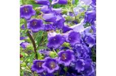 CAMPANULA MEDIUM BLUE - CANTERBURY BELLS - CUP AND SAUCER - PLUG PLANT (5CM PLUG) - PRICED INDIVIDUALLY