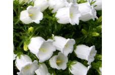 CAMPANULA MEDIUM WHITE - CANTERBURY BELLS - CUP AND SAUCER - PLUG PLANT (5CM PLUG) - PRICED INDIVIDUALLY