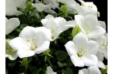 CAMPANULA CARPATICA WHITE PEARL CARPATHIAN BELLFLOWER 1 LITRE POTTED PLANT - PRICED INDIVIDUALLY