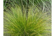 CAREX FLAGELLIFERA KIWI WEEPING SEDGE ORNAMENTAL GRASS 1 LITRE POTTED PLANT - PRICED INDIVIDUALLY