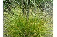 CAREX FLAGELLIFERA KIWI WEEPING SEDGE ORNAMENTAL GRASS  0.5L / 9CM POTTED PLANT - PRICED INDIVIDUALLY