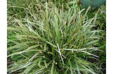 CAREX MORROWII (ICE DANCE ) SEDGE PLANT ORNAMENTAL GRASS 2 LITRE POTTED PLANT - PRICED INDIVIDUALLY